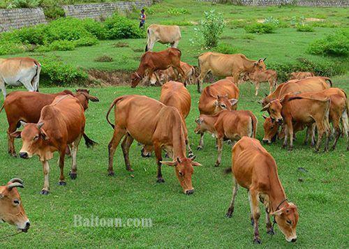 Bài toán đàn bò ăn cỏ
